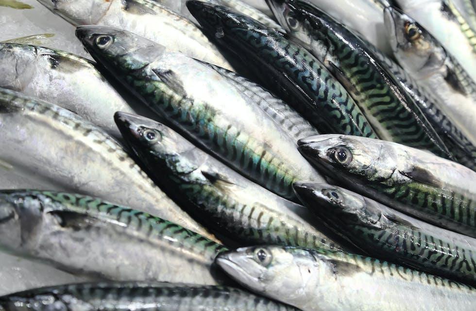 Kappfiske etter makrell i norsk sone, eit resultat av manglande avtale mellom Noreg og Storbritiannia. Illustrasjonsfoto: iStockphoto.com/ vuk8691.